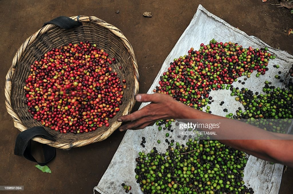 A worker classifies coffee beans at a farm in San Ramon, a town on the outskirts of Diriamba some 32 km south from Managua, on January 17, 2013. Central America, one of main producers of the best Arabica Coffee, is analyzing to take measures to combat the Roya (Puccinia graminis) blight already threatening more than one third of the grain crop, one of the region's major export items. AFP PHOTO/Hector RETAMAL