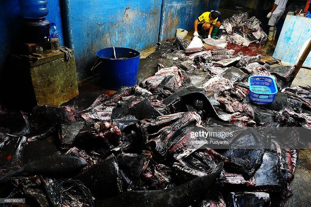 A worker cleans the manta rays in a warehouse at Muncar Port on May 25, 2014 in Banyuwangi, Indonesia. Indonesia has become one of the major exporters of meat and shark fins in the world, producing 640 thousand tons per year. The Indonesian government is tightening regulations for the fishing of sharks and manta rays, which are now included in the list of Appendix II of the Convention on International Trade in Endangered Species (CITES).