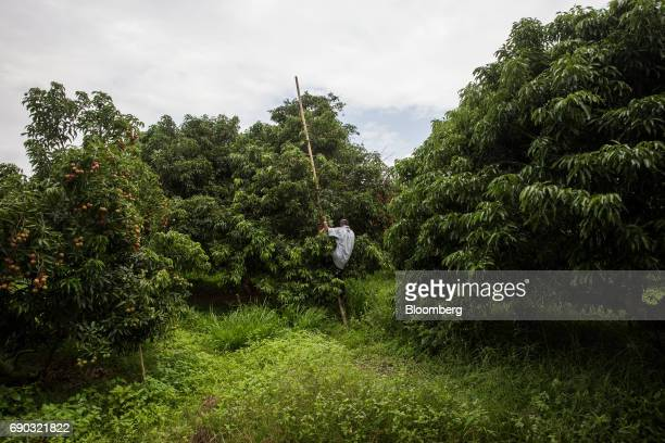 A worker climbs a ladder at a lychee orchard in the Chai Prakan district of Chiang Mai province Thailand on Saturday May 27 2017 Thailand's economic...