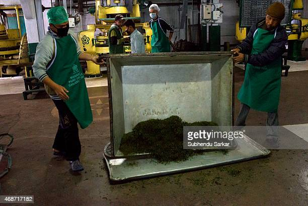 Worker collect tea leaves after being rolled by a machine at Makaibari tea factory Set up in 1859 off Kurseong in the Darjeeling hills the Makaibari...
