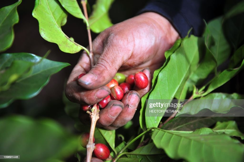 A worker collects coffee beans at a farm in Cuatro Esquinas, on the outskirts of Diriamba some 32 km south from Managua, on January 17, 2013. Central America, one of main producers of the best Arabica Coffee, is analyzing to take measures to combat the Roya (Puccinia graminis) blight already threatening more than one third of the grain crop, one of the region's major export items. AFP PHOTO/Hector RETAMAL