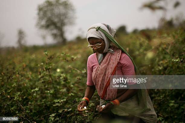 A worker collects cotton buds in a field on April 2008 in the village of Sunna in the Vidarbha region of Maharashtra state India A wave of farmers'...