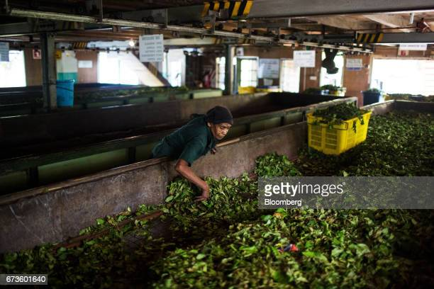 A worker collects partially dehydrated tea leaves from a withering trough at the factory of the Geragama Tea Estate operated by Pussellawa...