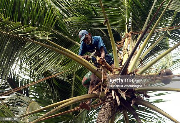 A worker collects sap from a Coconut Palm Tree to make Palm Wine or Toddy as it is locally known on May 27 2012 in Kalutara Sri Lanka Palm Wine is...