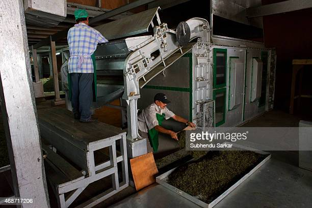 A worker collects tea leaves after being dried ninety per cent by a machine at Makaibari tea factory Set up in 1859 off Kurseong in the Darjeeling...