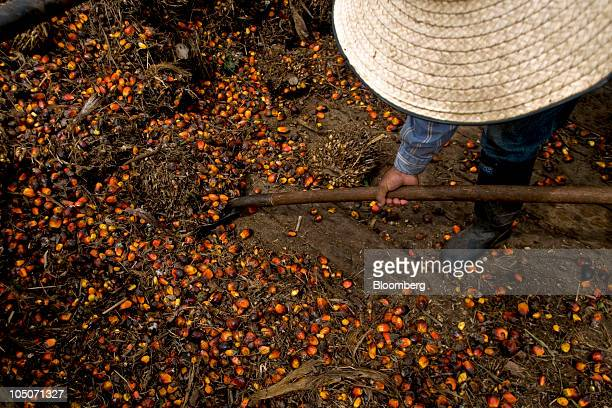 A worker collects the fruit from oil palm trees at a production facility in Cumaral Colombia on Friday Oct 1 2010 Palm oil futures rallied for a...