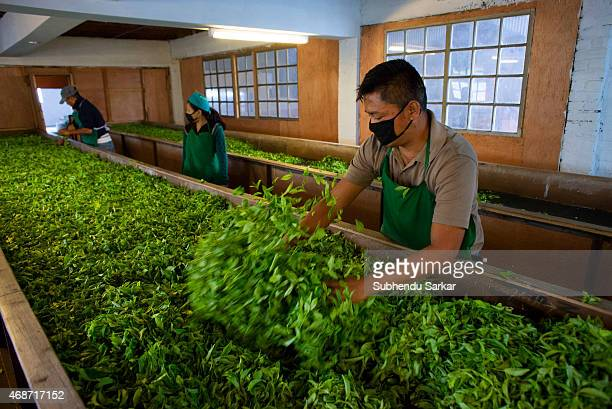 A worker collects withered tea leaves from a trough to be rolled at Makaibari tea factory Set up in 1859 off Kurseong in the Darjeeling hills the...