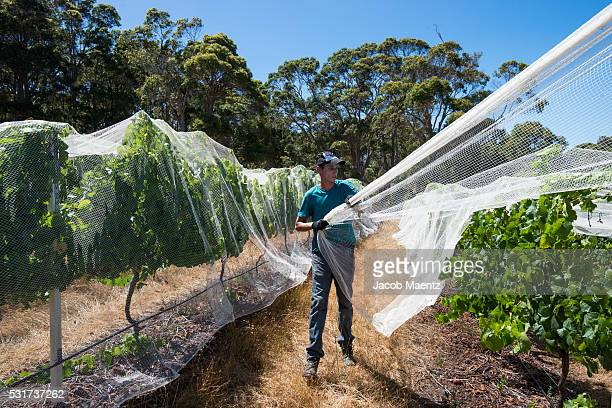 A worker covering grapevines with bird control grape nets