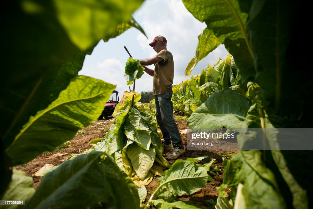 A worker cuts down Burley Tobacco plants and stack them in preparation for drying at the Baldwin Farm in Manchester, Ohio, U.S., on Monday, Aug. 19, 2013. Ohio's debt is headed for its worst annual return since 2008 because of a slump in the value of the state's tobacco bonds. Photographer: Ty Wright/Bloomberg via Getty Images