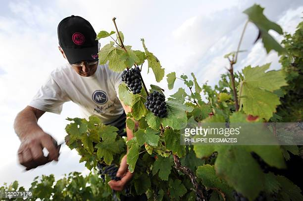 A worker cuts grapes as the sun rise early on August 23 2011 in the 'Moulin à Vent' vineyard near Chenas Beaujolais southeastern France Traditionally...