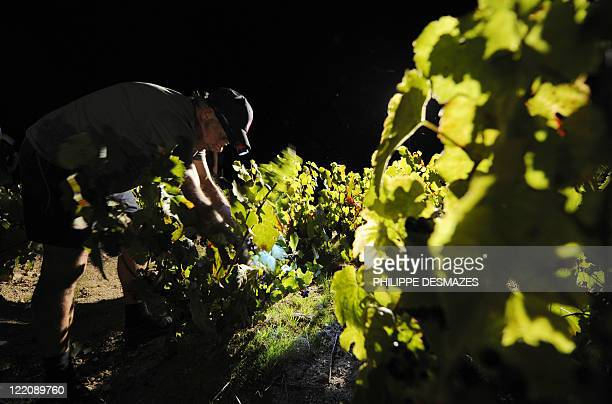 A worker cuts grapes during a night harvest early on August 23 2011 in the 'Moulin à Vent' vineyard near Chenas Beaujolais southeastern France...