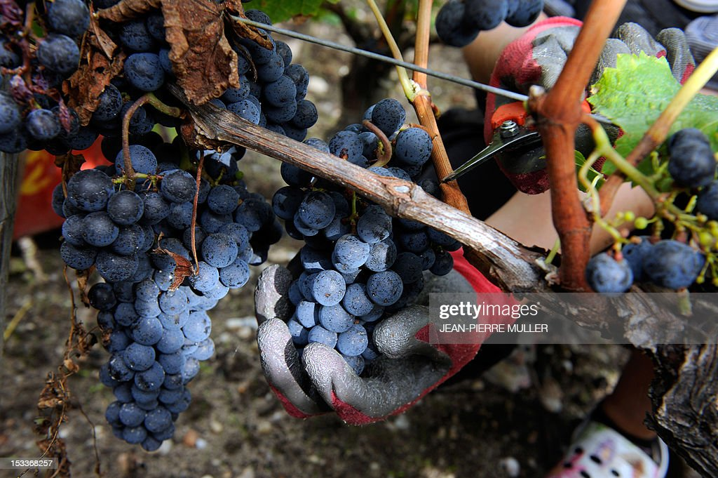 A worker cuts grapes during harvest on October 4, 2012 at Chateau Lascombes vineyard in Margaux, southwestern France France. AFP PHOTO JEAN PIERRE MULLER.