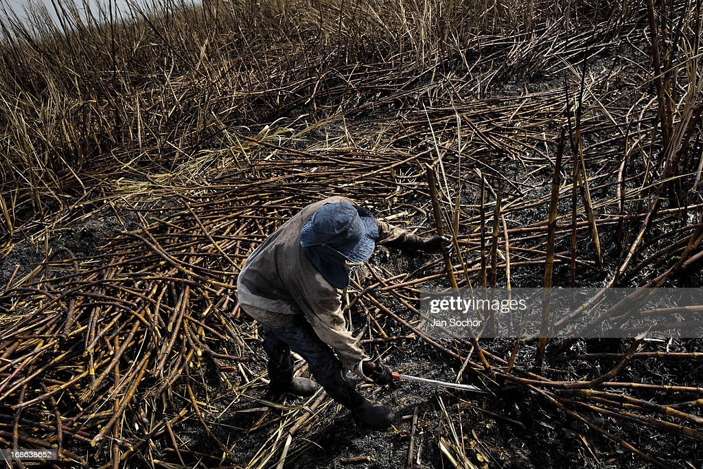 A worker cuts sugar cane on a plantation near Florida Valle del Cauca Colombia 30 May 2012 The Cauca River valley is the booming centre of...
