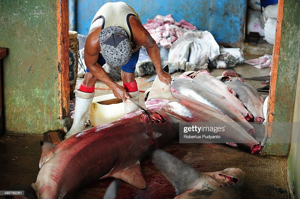 A worker cuts the shark fins at Muncar Port on May 25, 2014 in Banyuwangi, Indonesia. Indonesia has become one of the major exporters of meat and shark fins in the world, producing 640 thousand tons per year. The Indonesian government is tightening regulations for the fishing of sharks and manta rays, which are now included in the list of Appendix II of the Convention on International Trade in Endangered Species (CITES).