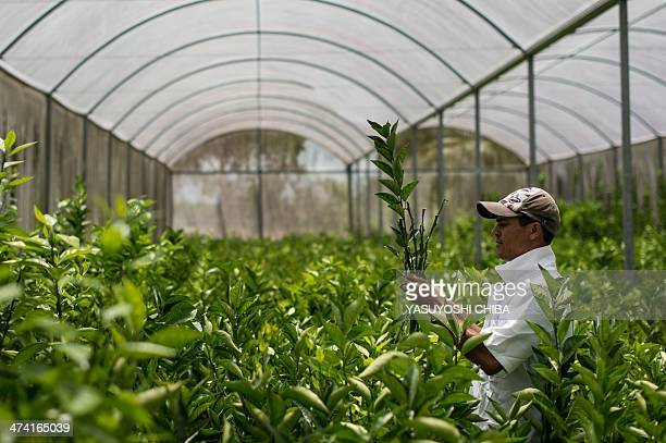 A worker cuts young orange plants to implant in lemon plants inside a greenhouse in Rio Real about 200 km north from Salvador in Bahia state Brazil...