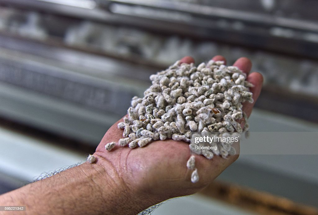 A worker displays cotton seeds for a photograph at the Gulf Coast Cooperative gin in the Nueces County of Bishop, Texas, U.S., on Wednesday, Aug. 24, 2016. The United States Department of Agriculture (USDA) estimates US export sales of 18,500 bales for cotton in 2017-2018. Photographer: Eddie Seal/Bloomberg via Getty Images