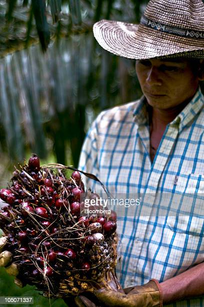 A worker displays the harvested fruit of an oil palm tree on a plantation in Sabana de Torres Santander Colombia on Friday Sept 24 2010 Palm oil...