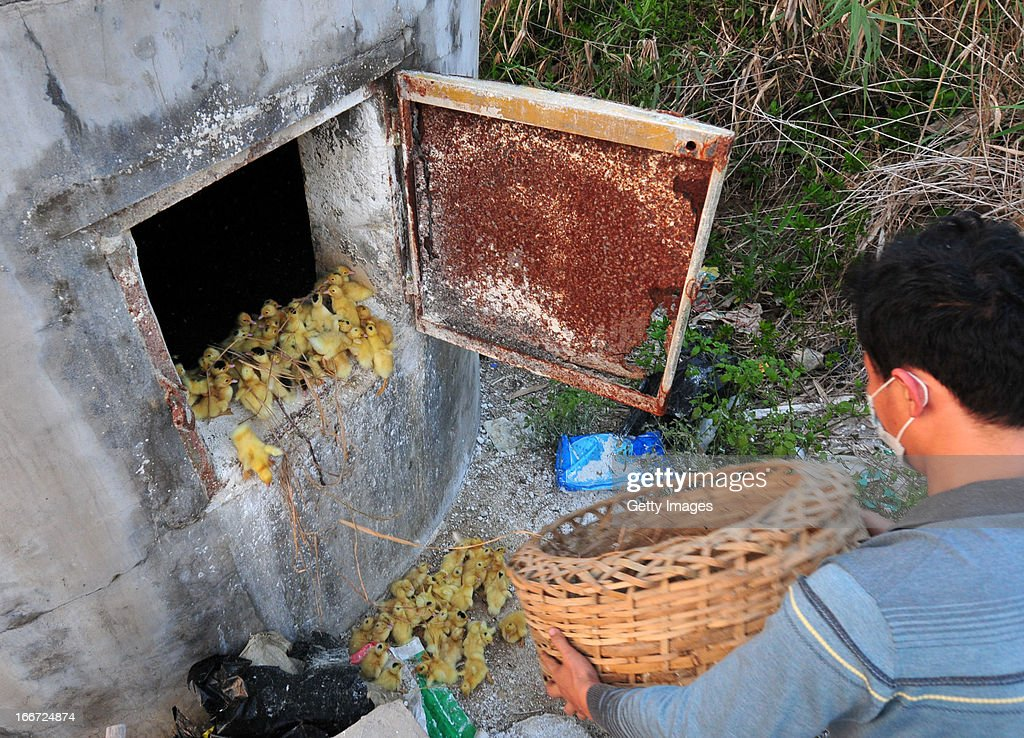 A worker disposes of ducklings at a poultry farm on April 14, 2013 in Zhangzhou, China. China on Monday confirmed three new cases of H7N9 avian influenza, bringing the total to 63 cases in the country, with 14 deaths.
