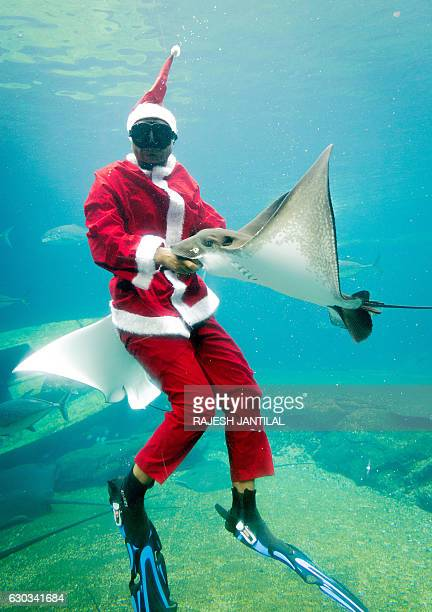 A worker dressed as Santa Claus swims with a ray during a show at Africa's largest marine theme park the South African Marine Biological Research Sea...