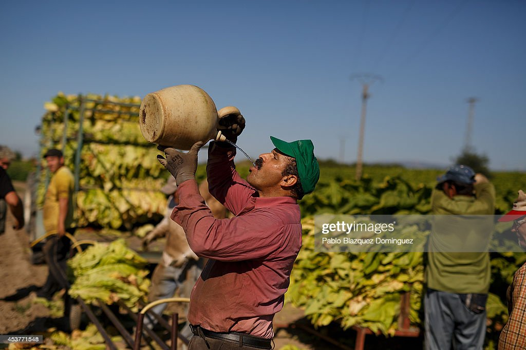 A worker drinks water from a 'botijo' (traditional pot jug) as he works during the tobacco harvest on a farm on August 15, 2014 near Valverde de la Vera, in Extreamdura region, Spain. There is one team of workers left who still do the Virginia tobacco harvest manually. Spain is the third biggest producer of tobacco in Europe. Around 90 percent of Spanish tobacco is grown in Extremadura, providing an income to around 20,000 families in the region. In recent years tobacco farming in Extremadura has started to mechanize, becoming more competitive but also leading to the loss of manual labour jobs.