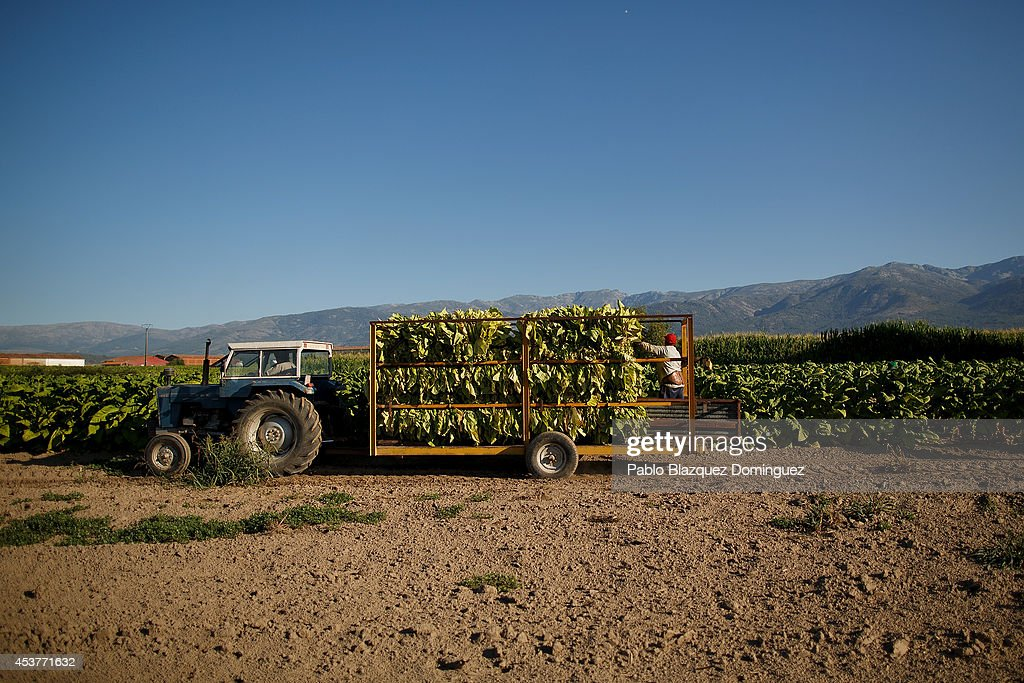 A worker drives a 'gua-gua' (farm tractor trailer used for tobacco) during the tobacco harvest on a farm on August 15, 2014 near Valverde de la Vera, in Extreamdura region, Spain. There is one team of workers left who still do the Virginia tobacco harvest manually. Spain is the third biggest producer of tobacco in Europe. Around 90 percent of Spanish tobacco is grown in Extremadura, providing an income to around 20,000 families in the region. In recent years tobacco farming in Extremadura has started to mechanize, becoming more competitive but also leading to the loss of manual labour jobs.