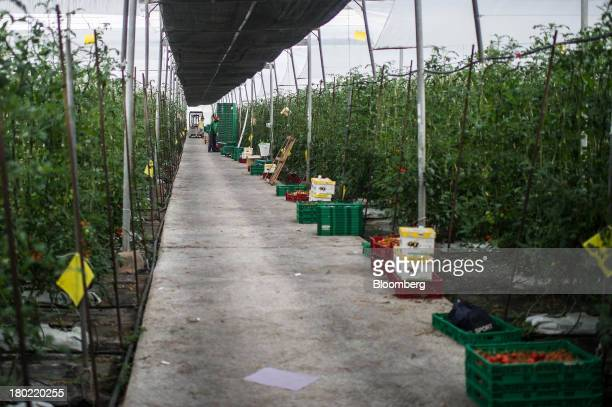 A worker drops ripened tomatoes into collection boxes at the end of plant avenues on a farm using intensive greenhouse agricultural cultivation in...