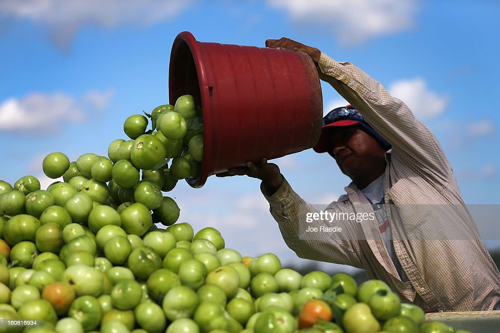 A worker dumps a bucket of tomatoes into a trailer as workers harvest them in the fields of DiMare Farms on February 6, 2013 in Florida City, Florida. The United States government and Mexico reached a tentative agreement that would go into effect around March 4th, on cross-border trade in tomatoes, providing help for the Florida growers who said the Mexican tomato growers were dumping their product on the U.S. markets.
