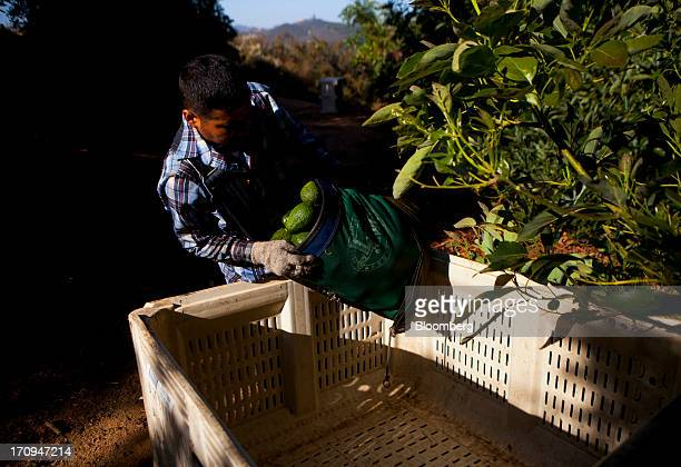 A worker dumps avocados into a bin during a harvest for Mission Produce Inc at Rancho Oro Verde in San Diego California US on Thursday June 20 2013...