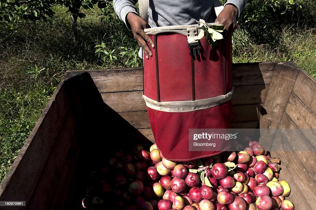 A worker empties a bags of collected apples into a crate in the orchard at MacQueen Orchards in Holland, Ohio, U.S., on Tuesday, Sept. 17, 2013. Ohio is one of the top ten apple-producing states in the U.S., which overall has about 7,500 apple producers who grow nearly 100 varieties of apples on approximately 363,000 acres, according to the U.S. Apple Association. Photographer: Ty Wright/Bloomberg via Getty Images