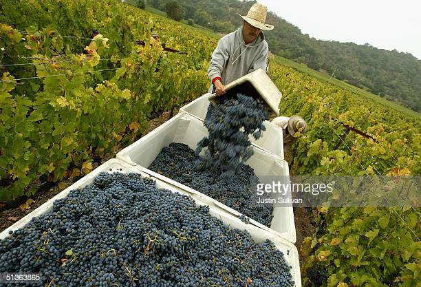 27 A worker empties a bin of freshly picked cabernet sauvignon wine grapes at the Stags' Leap Winery September 27 2004 in Napa California The 2004...