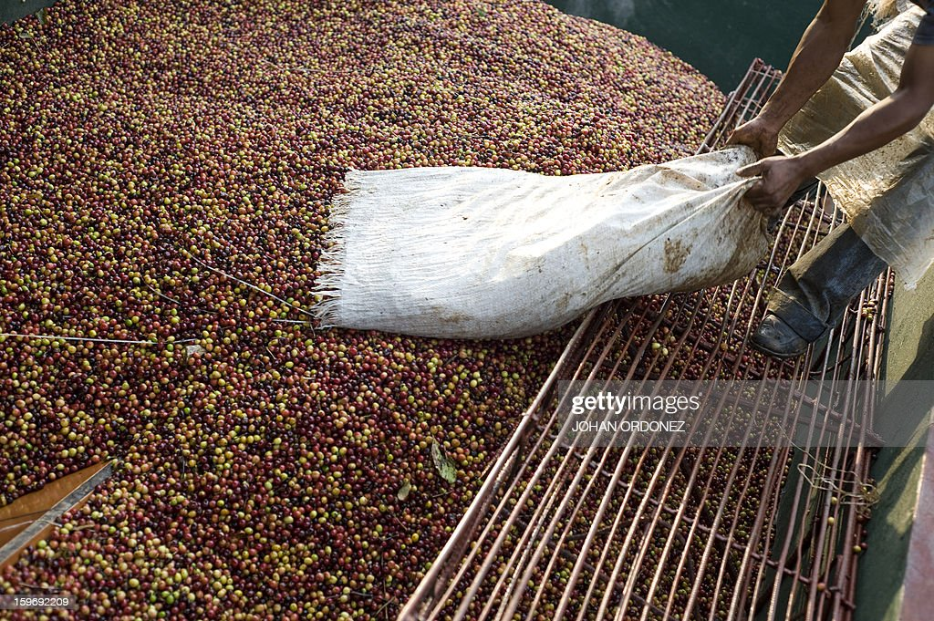 A worker empties a sack of coffee beans at San Victor farm in Los Verdes village, Fraijanes municipality, 35 km of Guatemala City on January 17, 2013. Central America, one of main producers of the best Arabica Coffee, is analyzing to take measures to combat the Roya (Puccinia graminis) blight already threatening more than one third of the grain crop, one of the region's major export items. AFP PHOTO/Johan ORDONEZ