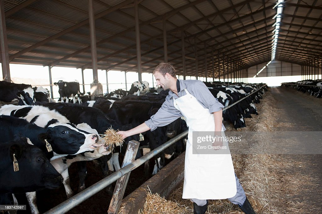 Worker feeding cows at dairy farm
