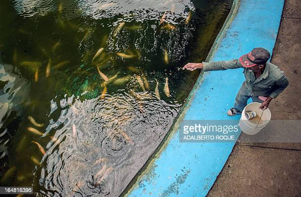 A worker from Aquaculture Technologies Company feeds Red Tilapia fishes Red tilapia is the result of Blue tilapia mating with Mozambique Tilapia in...