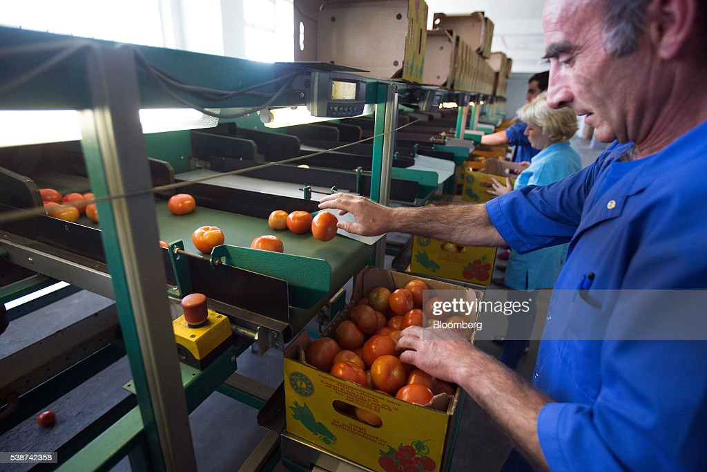 A worker guides tomatoes into boxes after passing through a sorting machine in the boxing room at the Yuzhny Agricultural Complex, operated by AFK Sistema, in Ust-Dzheguta, Russia, on Wednesday, May 18, 2016. The plump hybrid tomatoes, named for the fearsome tank that helped trounce Hitler, are the pride of the Yuzhny Agricultural Complex, a mass of greenhouses the size of 2,300 football fields between the Black and Caspian seas. Photographer: Andrey Rudakov/Bloomberg via Getty Images