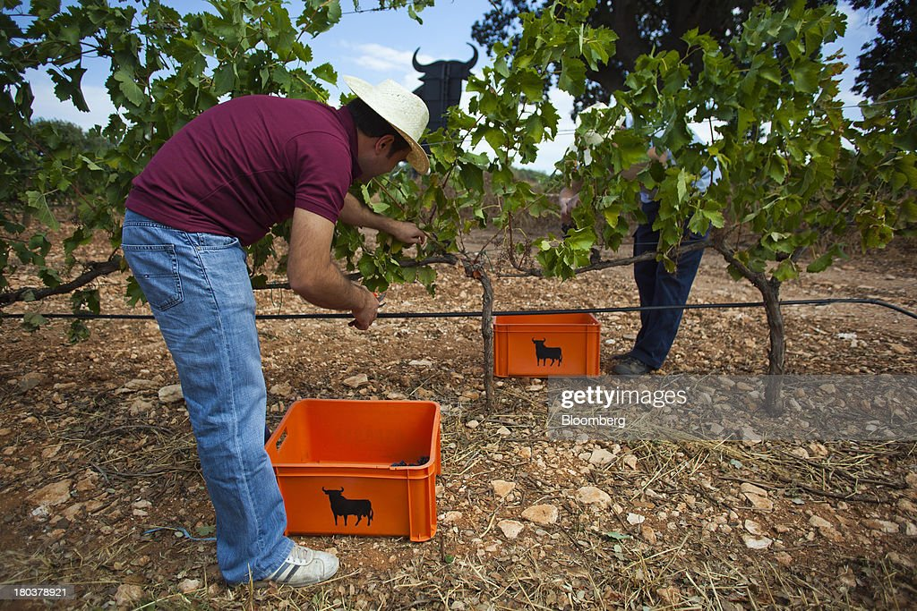 A worker hand picks grapes from vines during the harvest in vineyards at the Bodegas Osborne SA winery in Malpica de Tajo, Spain, on Wednesday, Sept. 11, 2013. Spanish manufacturing expanded in August for the first time in more than two years, strengthening Prime Minister Mariano Rajoy's prediction that exports will help the economy emerge from recession this year. Photographer: Angel Navarrete/Bloomberg via Getty Images