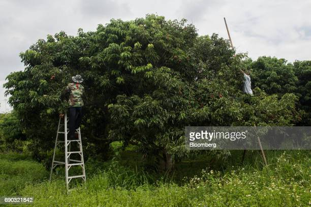 Worker handpick lychees while standing on ladders at an orchard in the Chai Prakan district of Chiang Mai province Thailand on Saturday May 27 2017...