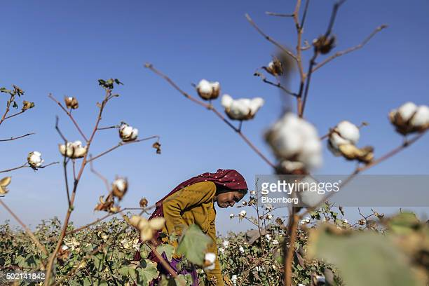 A worker handpicks cotton in a field in Wankaner Gujarat India on Tuesday Dec 15 2015 World inventories at the end of this season will be the...