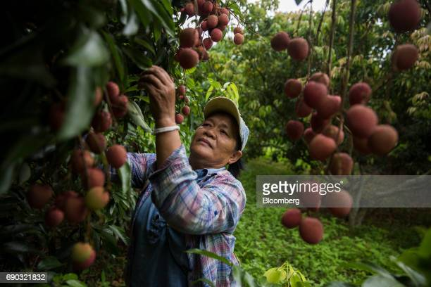 A worker handpicks lychees at an orchard in the Chai Prakan district of Chiang Mai province Thailand on Saturday May 27 2017 Thailand's economic...
