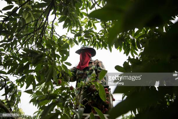 A worker handpicks lychees while standing on a ladder at an orchard in the Chai Prakan district of Chiang Mai province Thailand on Saturday May 27...