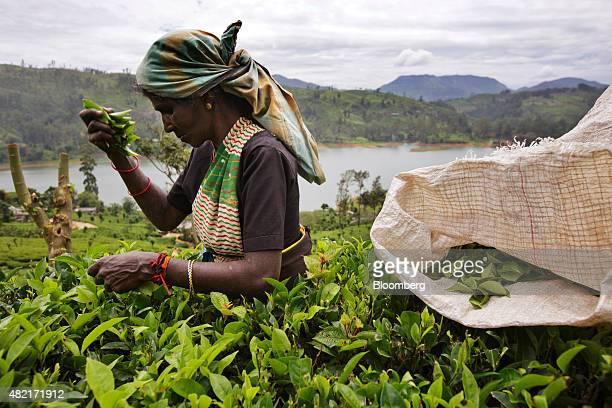 A worker handpicks tea leaves at the Dunkeld Tea Estate operated by MJF Holdings Ltd's Dilmah Tea in Dickoya Central province Sri Lanka on Friday...