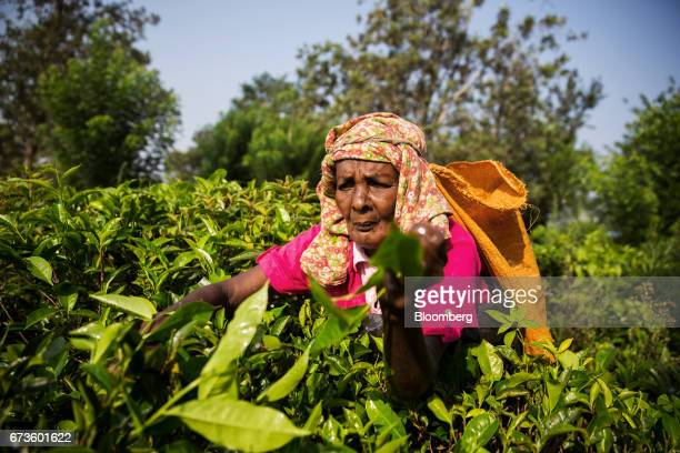 A worker handpicks tea leaves at the Geragama Tea Estate operated by Pussellawa Plantations Ltd in Pilimathalawa Central Sri Lanka on Wednesday April...