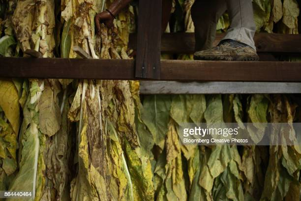 A worker hangs burley tobacco leaves