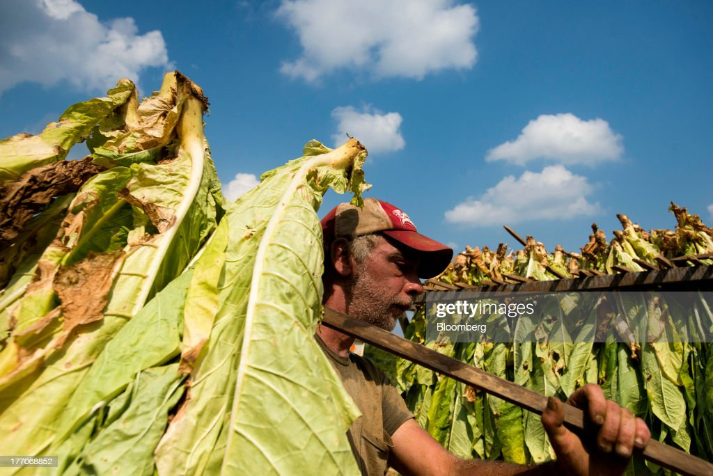 A worker hangs Burley Tobacco plants on a rail cart after being cut down at the Baldwin Farm in Manchester, Ohio, U.S., on Monday, Aug. 19, 2013. Ohio's debt is headed for its worst annual return since 2008 because of a slump in the value of the state's tobacco bonds. Photographer: Ty Wright/Bloomberg via Getty Images
