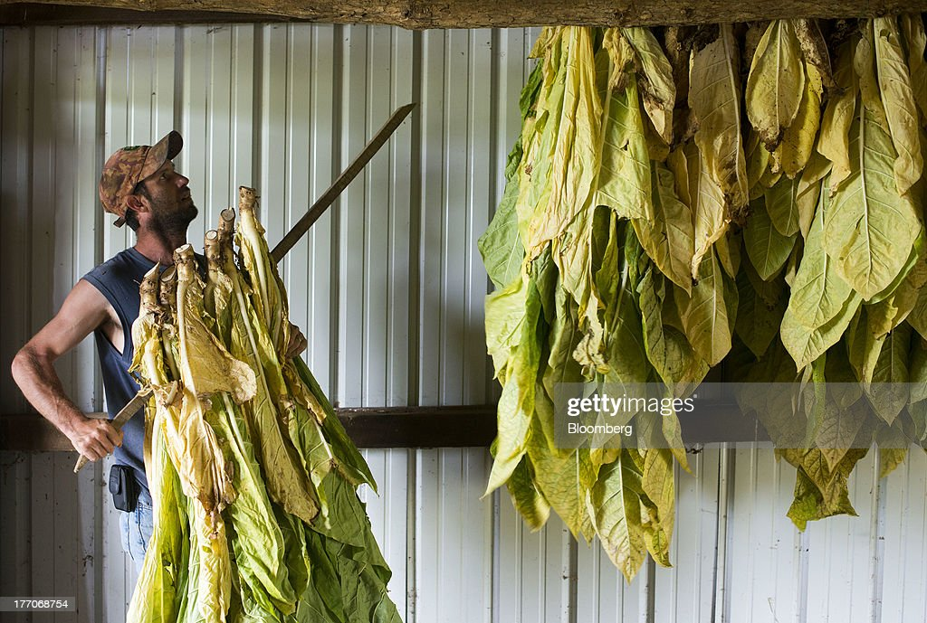 A worker hangs racks of Burley Tobacco plants to dry in a barn at the Baldwin Farm in Manchester, Ohio, U.S., on Monday, Aug. 19, 2013. Ohio's debt is headed for its worst annual return since 2008 because of a slump in the value of the state's tobacco bonds. Photographer: Ty Wright/Bloomberg via Getty Images
