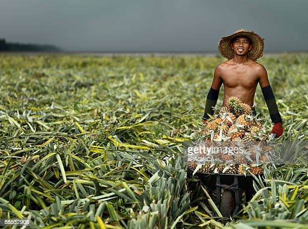A worker harvesting pineapple.