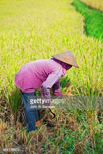 Worker harvesting rice, Ubud, Bali : Stock-Foto
