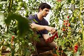 Worker harvesting ripe tomatoes at organic farm