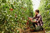 Worker harvesting tomatoes at organic farm