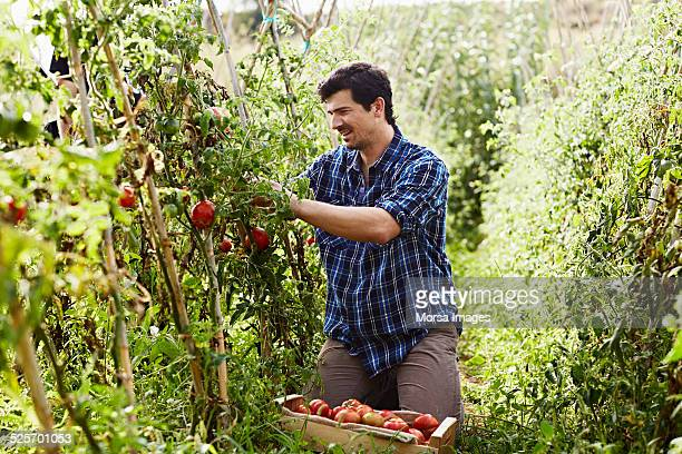 Worker harvesting tomatoes at organic farm