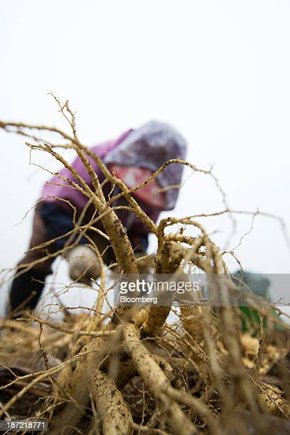 A worker harvests 6 yearold ginseng to be delivered to Korea Ginseng Corp at a field in Chuncheon South Korea on Thursday Oct 31 2013 The nations...